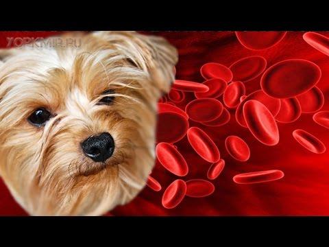 Анемия у собак | Причины | Симптомы | Лечение.