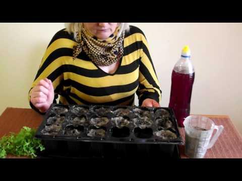 Укоренение черенков хризантемы