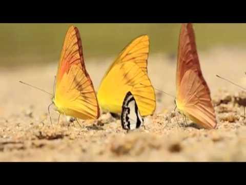ベニシロチョウの吸水 D5100動画