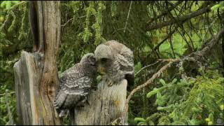 Great Gray Owl Nest Fledglings getting better at flight and climbing 6-15- 2017