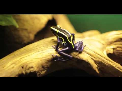 Learn about Poison Arrow Frogs with Reptile Gardens