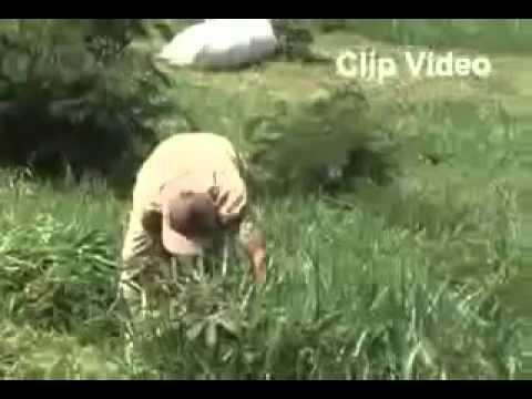 Video Cara Budidaya Sapi Perah