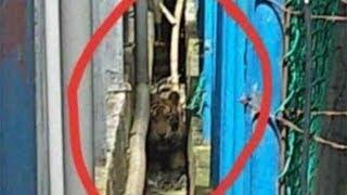 Harimau Sumatera yang Terjebak di Riau Dalam Keadaan Sehat dan Agresif
