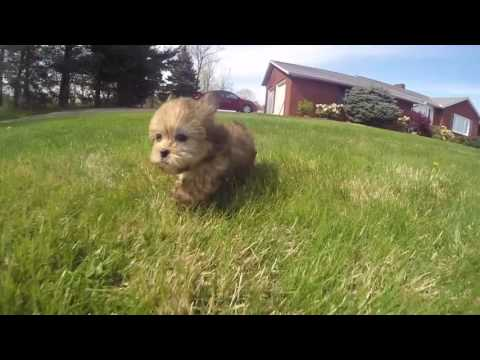 Shorkie Puppy for sale in NY