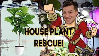 Fiddle Leaf Fig Rescue! How to REVIVE a Ficus Lyrata
