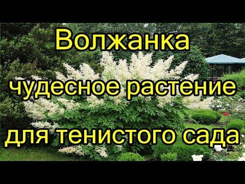 #Волжанка - чудесное растение для тенистого сада.