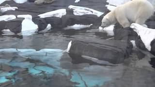 POLAR BEAR  fishing/Белый медведь ловит рыбу