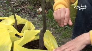 Посадка плодовых деревьев видео