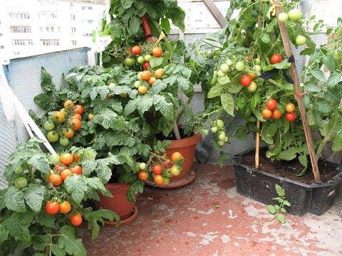 ТОМАТ Балконное чудо - характеристика томата