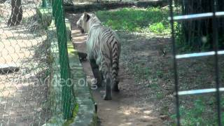 White Tiger at Bannerghatta National Park, Bengaluru
