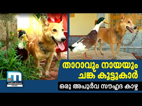 Strange Friendship Between Dog And Duck| Mathrubhumi News