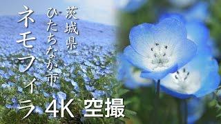 【絶景茨城】ネモフィラ[4K]茨城県ひたちなか市(国営ひたち海浜公園/Hitachi Seaside Park)|VISIT IBARAKI, JAPAN