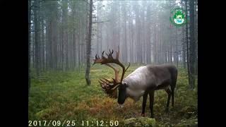 Северные лесные олени заповедника