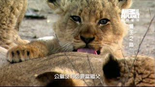 動物星球頻道 《獅王之路》獅王之路公獅佔領地盤後會殺害原有的幼獅