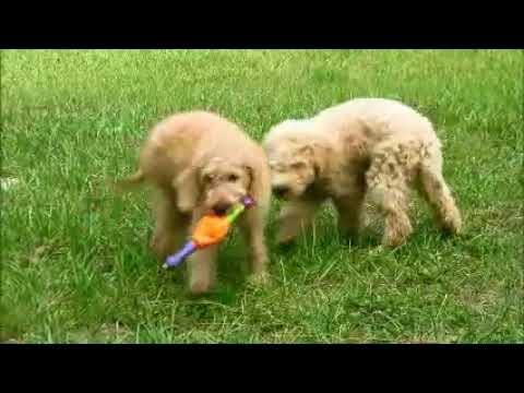 Lance and Lexis Goldendoodles