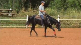 preview picture of video 'TheBlackShiny Quarter horse training אילוף סוסים'
