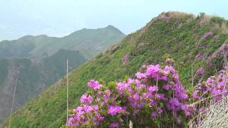 阿蘇山・烏帽子岳のミヤマキリシマ