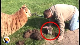 Baby Alpaca Stuck in Hole Can't Wait To Be With Mom Again | The Dodo