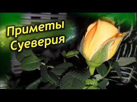 Роза в доме! Приметы и суеверия о комнатной розе!