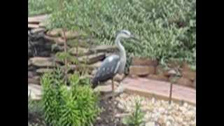 How to deter Blue Heron's from eating your pond fish