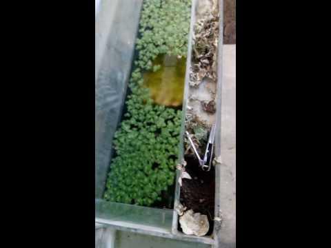 Video Budidaya ikan guppy