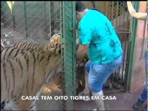 8 Tigres en casa