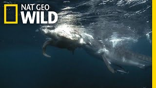 Watch a Tiger Shark Make a Meal of a Turtle | Nat Geo Wild