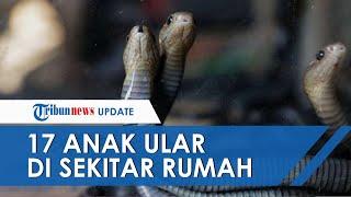 17 Anak Ular Piton Muncul di Halaman Rumah Warga Makassar saat Hujan, sang Induk Belum Ditemukan