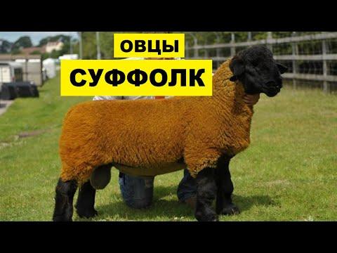 , title : 'Разведение овец породы Суффолк как бизнес идея | Овцеводство | Овцы суффолк