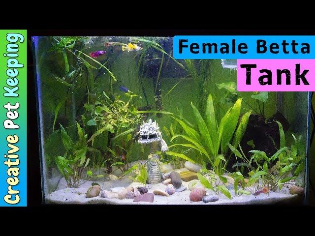 Starting a female BETTA SORORITY TANK with Guppies #BettaFish