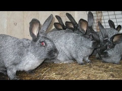 Самые выгодные породы кроликов в приусадебном хозяйстве
