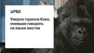 Умерла горилла Коко, освоившая язык глухонемых