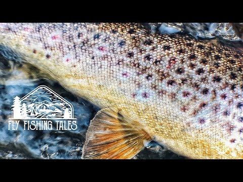 Dry Fly Trouts