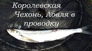 Королевская Чехонь. Рыбалка 2016, Волга!
