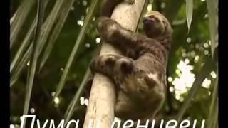 Смотреть онлайн Пума безжалостно нападает на ленивца