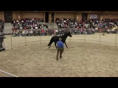 One of the best horse trainers out there, Monty Roberts, puts a bridle and saddle on a horse for the first time in under 30 minutes.