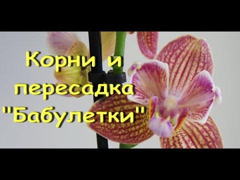 """Орхидея """"БАБУЛЕТКА"""":корни,ПЕРЕСАДКА."""