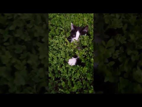 Estos pequeños gatos juegan a las esconcidadas en lo arbustos