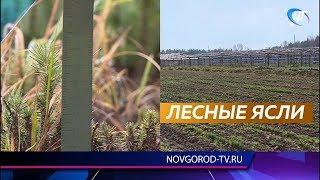 В этом году в Новгородской области стало на два лесных питомника больше