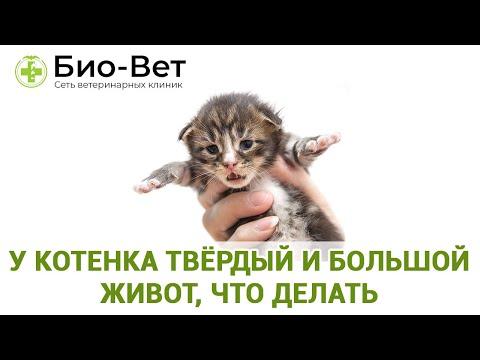 У котенка твёрдый и большой живот, что делать