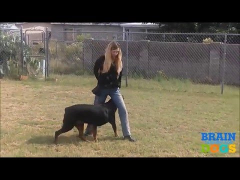 Brain Training for Dogs - Turn Your Dog into a Genius! - YouTube