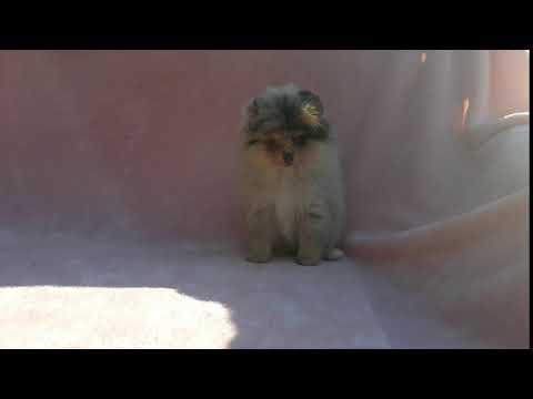 Merle Pomeranian Puppy Female