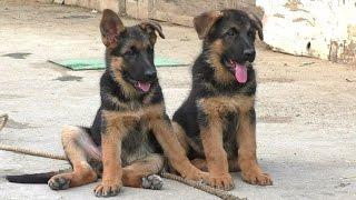 ЗАБАВНЫЕ ЩЕНКИ НЕМЕЦКОЙ ОВЧАРКИ. Подборка. Funny German Shepherd puppies. COMPILATION.