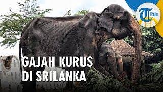 Viral Gajah Kurus hingga Tulangnya Menonjol Dipaksa Ikut Berparade 10 Hari