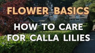 How to Care for Calla Lilies