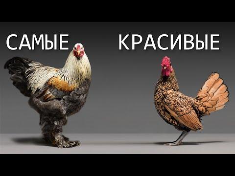 """Самые красивые породы кур 2020 года. Выставка птицеводства """"Гордость России""""."""