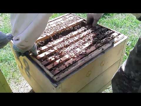 Как я отбираю маточники | Пчеловодство