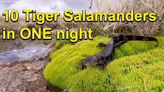 Catching 10 Tiger Salamanders in one night