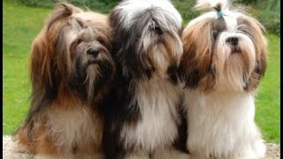 Lhasa Apso Worlds Best Video Compilation Of Funny/Fighting/Playfull Puppies And Dogs In HD