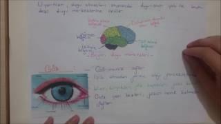 7. Sınıf Duyu Organları - Göz